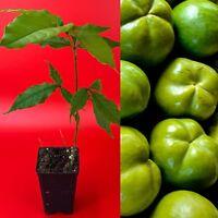 White Sapote Casimiroa Edulis Zapote Blanco Seedling Plant Tropical Fruit Tree