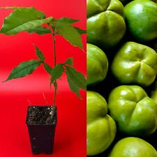 White Sapote Casimiroa Edulis Zapote Blanco Seedling Plant Tropical Fruit Tree