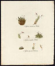 Antique Print-FISSIDENS-MOSS-ADIANTOIDES-BRYOIDES-684-Flora Batava-Sepp-1800