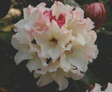 Rhododendron Opal Luster- Cream Bloom with Muted Pink Accents - One Gallon Plant