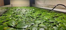 6x Amazon Frogbit (Limnobium laevigatum) Floating Aquarium/Fish Tank Plant