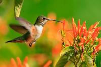 Hummingbird in Flight Photo Art Print Poster 24x36 inch