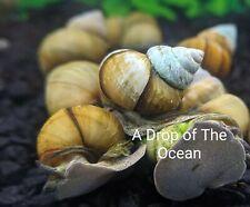 20 Live Trapdoor Snails