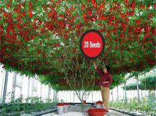 ITALIAN TREE TOMATO 'Trip L Crop' Rare 20 Seeds!!!!