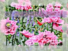 Pink Lace Poppy Flower Seeds -  200 plus seeds in each pack