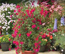 Planta Fucsia escalada Rosa Fucsia Fizz Enchufe planta