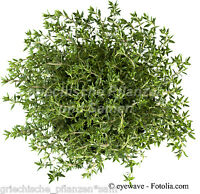 Thymian Deutscher Winter 100 Seeds perennial Winter resistant Herbs Winter hardy