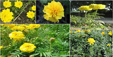 Yellow Annual Marigold Flowers Drought Resistant Flower 50 Seeds 4 U To Plant