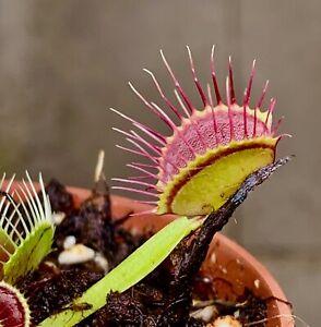 "fleischfressende Pflanzen,karnivoren Dionaea muscipula/""Dracula/"""
