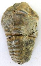"TRILOBITE Flexicalymene ouzregui 2"" Fossil Morocco Ordovician 465 Million Yr Old"