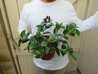Aeschynanthus Lipstick plant -A