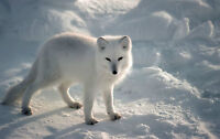 Framed Print - Snow White Arctic Fox (Picture Poster Antarctic Animal Wolf Art)