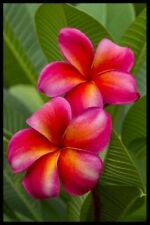 "Fragrant Plumeria (Rare) "" Rosy Red "" Frangapani Cutting 7-12 Inch +Rooted"