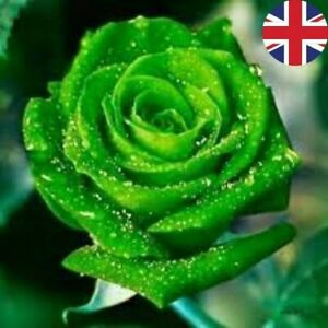 GREEN VELVET BOWER ROSE SEEDS GARDEN PLANT GARDENING 20% OFF WITH MULTIBUY