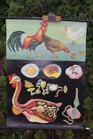 Carte à Rouler Schulwandkarte Murale Haushuhn Animal Tableau D'Apprentissage