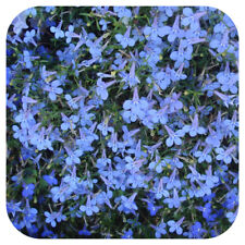 Lobelia Annual Biennial Flowers Plants For Sale Ebay