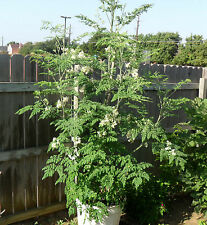Moringa oleifera | Fresh Seeds | 35 Seeds