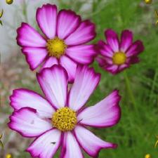 500 Picotee Cosmos Wildflower Seeds - Everwilde Farms Mylar Seed Packet