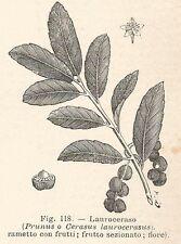 B1911 Cerasus laurocerasus - Incisione antica del 1928 - Engraving
