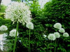 2 x Allium Zierlauch -> weiss & blau <- Ambassador & Mount Everest je 50 Samen