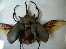 Entomologie Taxidermie Insecte Scorpion Pandinus cavimanus A1 de Tanzanie!