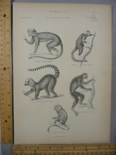Rare Antique Orig Vtg Monkey Various Mammals Mammalia Chart Engraving Art Print