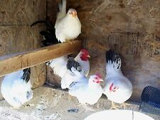 10+ COUNT  BLACK TAILED JAPS BANTAM Chicken HATCHING EGGS