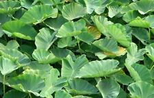 15 Green Dwarf Taro Elephant Ear Water Lily Bulbs Pond Water Plant