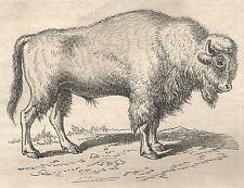 A4732 Bos urus - Xilografia - Stampa Antica del 1864 - Engraving