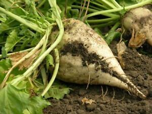 Beet Seed:  Sugar Beet Seeds.  Fresh Seed   FREE Shipping!!!!!