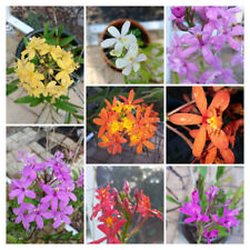 2 Myster Color Epidendrum Orchids rooted cutting; Freshly cut from Mother plant