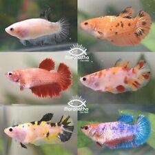 Live SURPRISE BOX with 4 Assorted Multicolored Female Betta Fish