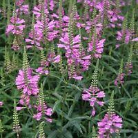 Obedient plant- Physostegia-  Pink- 50 seeds- BOGO 50% off SALE