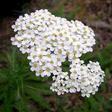 500 graines d' Achilée Blanche(Achillea Millefolium)Y465 SEED SEMI SEMILLA