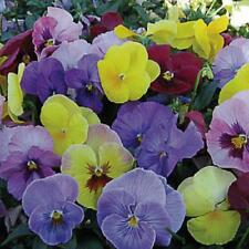 Viola Hiemalis  Winter Flowering Pansy - 100 seeds