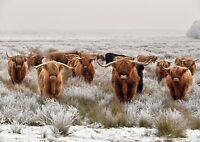 A3| Awesome Highland Cows Poster Print Size A3 Cattle Animal Poster Gift #16283