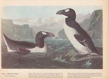 """1942 Vintage AUDUBON BIRDS #341 """"GREAT AUK"""" LOVELY Color Art Plate Lithograph"""