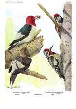 "1936 Vintage FUERTES BIRDS #62 ""RED-HEADED WOODPECKER &"" Color Plate Lithograph"
