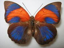 "Agrias sahlkei ninus  form "" biedermanni"" ""very rare female"""
