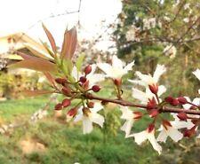 new!!! 10 seeds Cratoxylum formosum Thai Ancient vegetable ผักติ้ว Edible leaf