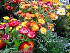 STRAWFLOWER DWARF - TOM THUMB MIX - 800 seeds - Helichrysum bracteatum - FLOWER