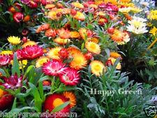 STRAWFLOWER  MIX - 800 seeds - Helichrysum bracteatum - FLOWER
