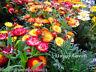 STRAWFLOWER DWARF - TOM THUMB MIX - 800 seeds - Helichrysum bracteatum - FLOWER