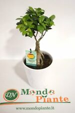 Bonsai Ficus Ginseng Vaso in Ceramica Bianco, Altezza 35cm
