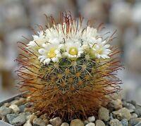 10 notocactus rutilans seeds seeds samen cactus succulents flowers seeds