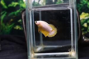 Live betta fish Strong Yellow Fancy top grade by Phanat Betta Farm