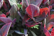 100 Organic Triple Purple Orach Seeds ~ Mountain Spinach ~ Edible and Ornamental