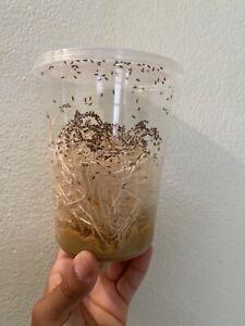 Flightless Fruit Fly Culture (Drosophila Melanogaster) FREE SHIPPING
