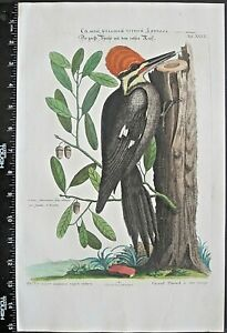 CatesbySeligman,Sammlung,Red-headed black Woodpecker on Oak,handc.engr.c,1749