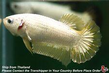 Live Betta Fish Yellow Dragon Female Hmpk #C274
